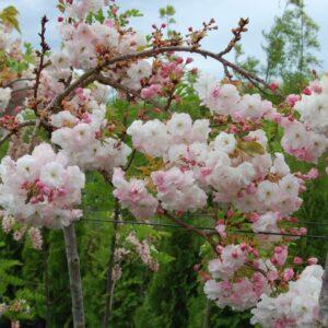 Prunus 'Shimidsu Sakura'  - PB40 (200/240)