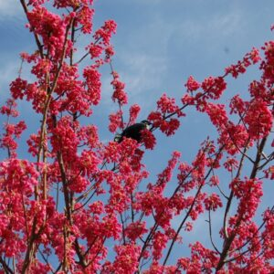 Prunus campanulata 'Superba' - PB28 (220/240)