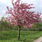 Prunus 'Kanzan' – PB28 (180/220)