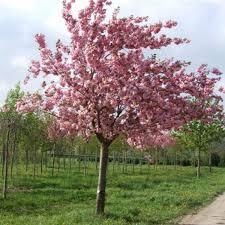 Prunus 'Kanzan' - PB95 (260/300)