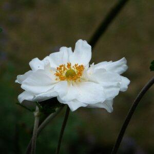 Anemone japonica White Single - PB6.5 (30/40)