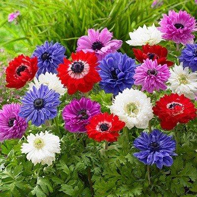 Anemone St Brigid (Double Flowering) – Mixed