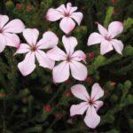 Acmadenia Pink Butterflies 500