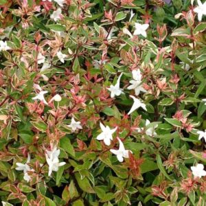 Abelia x grandiflora Snow Showers - pb6.5 (25/30)