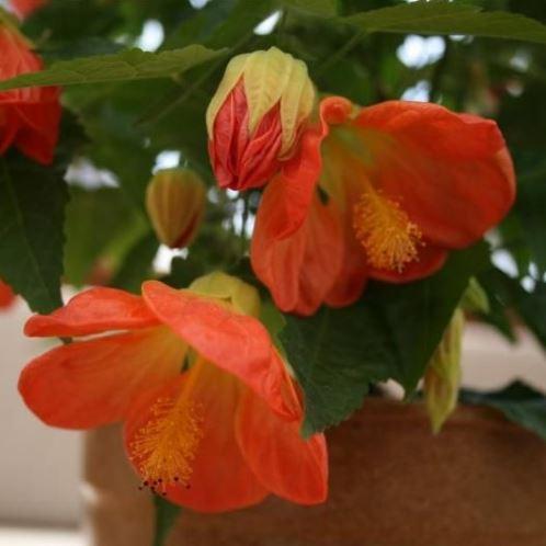 Abutilon Lucky Lantern Orange 500
