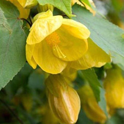 Abutilon Lucky Lantern Yellow 500