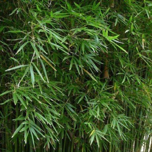 Bambusa Gracilis 500