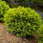 Buxus Green Gem - pb5 (15/25)