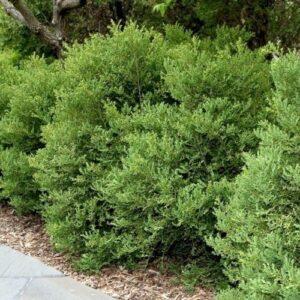 Buxus koreana - pb6.5 (15/20)