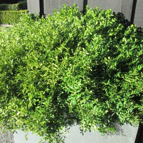 Buxus Tide Hill 500