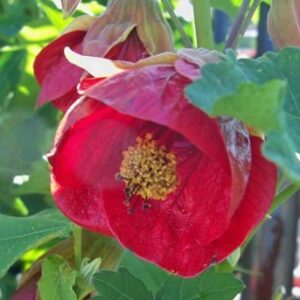 Abutilon x hybridum red-PB 6.5 (40/50)