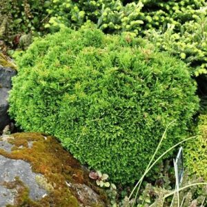 Chamaecyparis lawsoniana Green Globe - 1.3ltr (10/12)