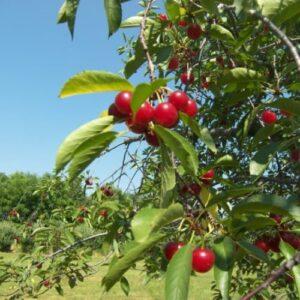 Cherry Modesto - pb12(160/180)