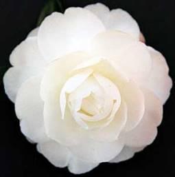 "Camellia ""Early Pearly""-PB 6.5 (80/120) Cameape"