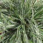 Carex oshimensis Everest - PB 5 (10/15)