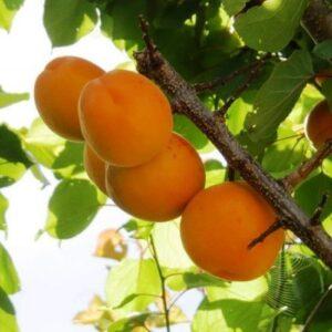 Apricot Steven's Favourite - pb18