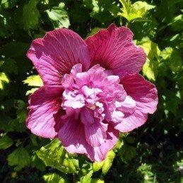 hibiscus syriacus collie mullen 39 s pb6 5 30 40. Black Bedroom Furniture Sets. Home Design Ideas