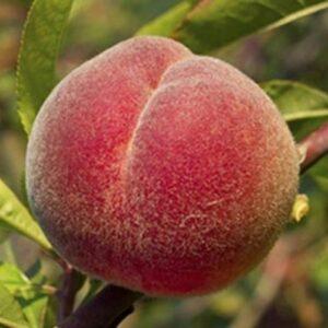 Peach Hobb's Late Red - pb18
