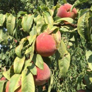 Peach Paragon - pb18 (160/200)