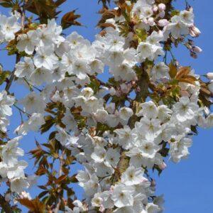 Prunus Tai Haku - pb28 (150/170)