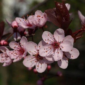 Prunus Thundercloud - pb28 (180/200)