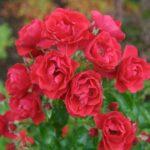 Rose Fc Scarlet 500