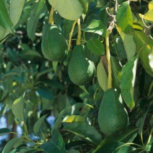 Avocado Fuerte - pb10 (150/180)