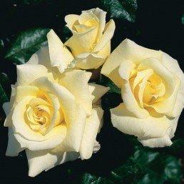 Shrub, Patio & Old Fashioned Roses - 'Scentasia'