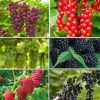 Berry Fruit Pack            6 plants for $70