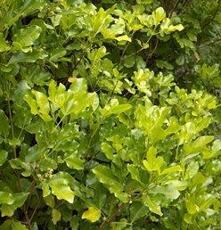 Melicope ternata PB5 (40/50)