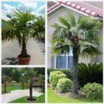 Trachycarpus fortunei PB28 (60/100)