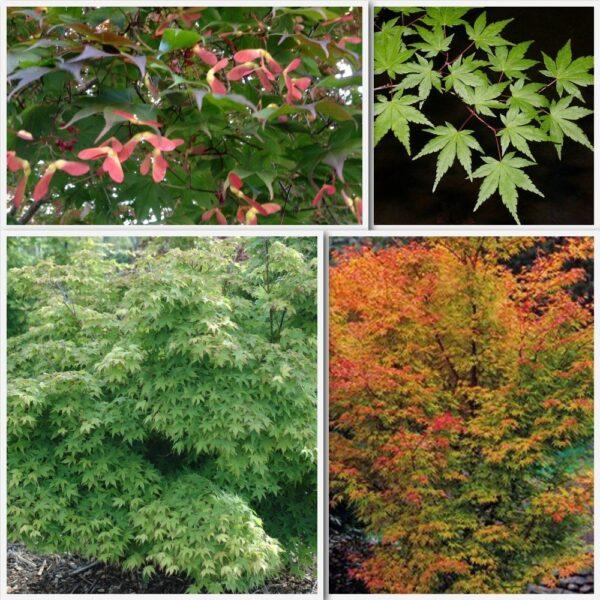Acer palmatum PB12 (100/200)