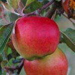 Apple Prima