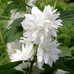 Philadelphus Snowflake – PB6.5 (50/60)