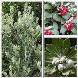 Pittosporum crassifolium - PB3/4 (30/40)