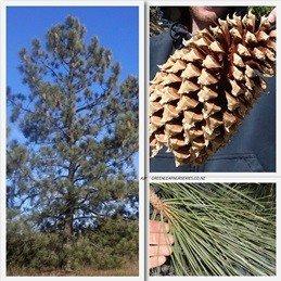 Pinus coulteri  PB6.5 (60/80)