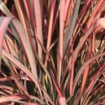Phormium tenax Evening Glow - PB5 (30/40)