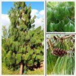 Pinus patula PB12 (100/120)