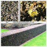 Corokia Frosted Chocolate - Pot (20/30)