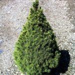 Picea glauca Albertiana Conica – PB5 (15/20)