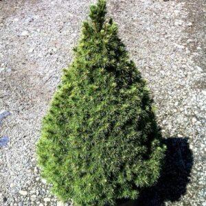 Picea glauca Albertiana Conica - PB5 (15/20)