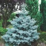 Picea pungens Koster PB12