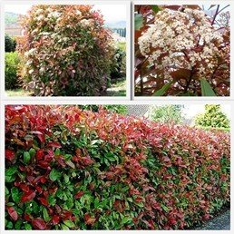 Photinia X Fraseri Red Robin Pb28 100 130 Bushy Plants