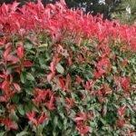 Photinia glabra Robusta - PB6.5 (40/50)