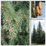 Picea abies - 2.5ltr (50/60)