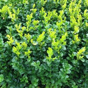 Buxus sempervirens - tube (10/15)