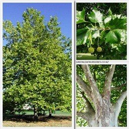 Platanus acerifolia - PB95 (300/350)