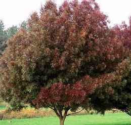 Fraxinus angustifolia - PB95 (350/450)