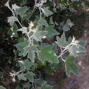 Populus alba Pyramidalis - PB40 (260/300)