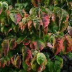 Cornus florida Rainbow PB28 (80/100)
